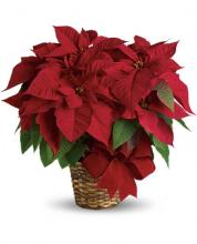 Holiday Cheer Sm Red Poinsettia