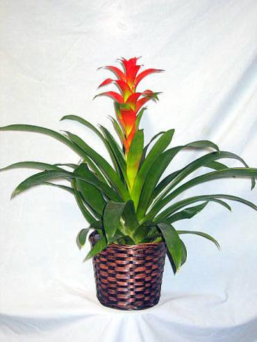Splendid Dawn Bromeliad