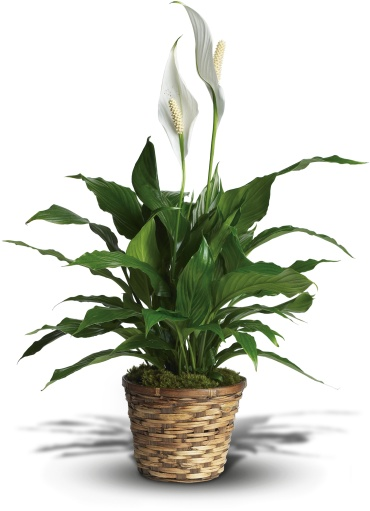 Medium Simply Elegant Spathiphyllum